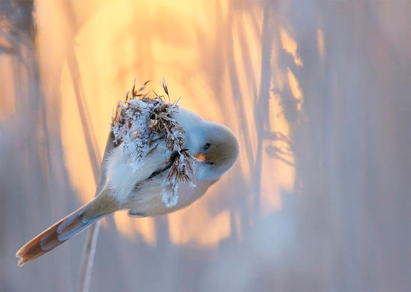 Bird Photographer of the Year 2017: лучшие фотографии птиц На закате. Маркус Варесвуо, Финляндия