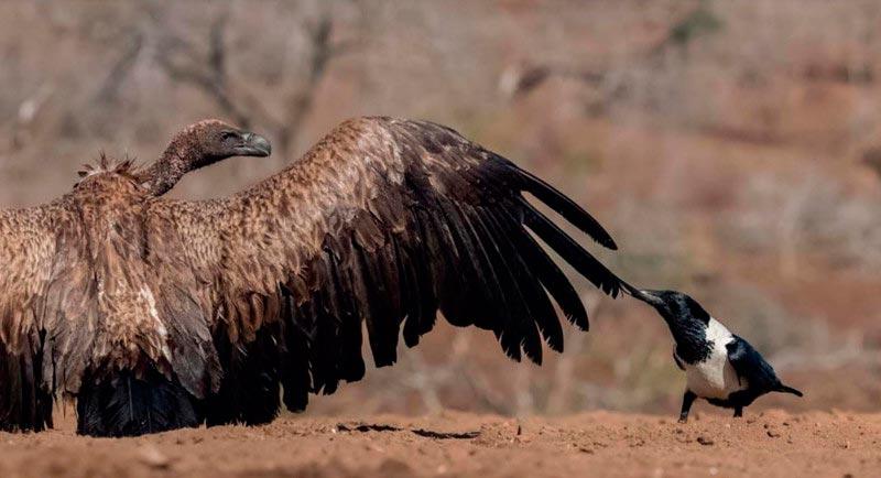 Bird Photographer of the Year 2017: лучшие фотографии птиц Храбрец. Бенче Матэ, Венгрия