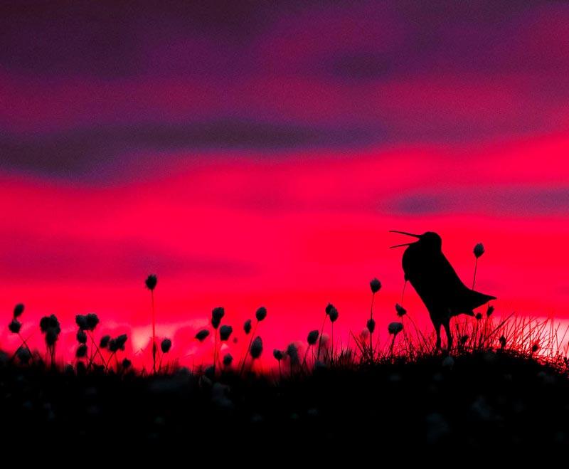 Bird Photographer of the Year 2017: лучшие фотографии птиц Силуэт дупеля. Торстен Грин-Петерсен