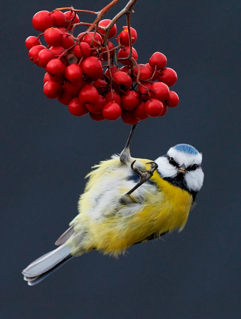 Bird Photographer of the Year 2017: лучшие фотографии птиц Лазоревка обыкновенная. Маркус Варесвуо, Финляндия
