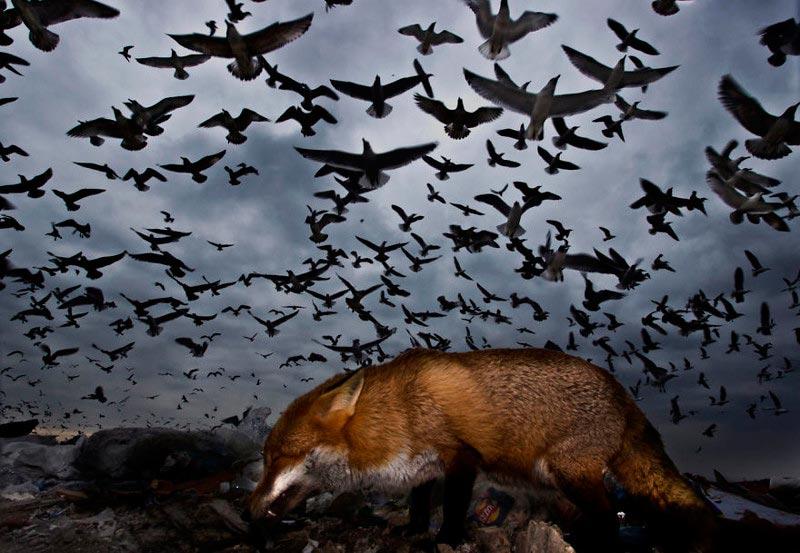 Bird Photographer of the Year 2017: лучшие фотографии птиц Чайки и лиса. Габор Капус, Великобритания