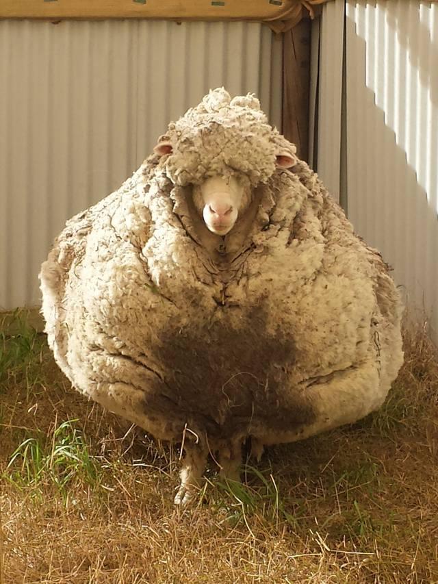Причины любить Австралию издалека Овца