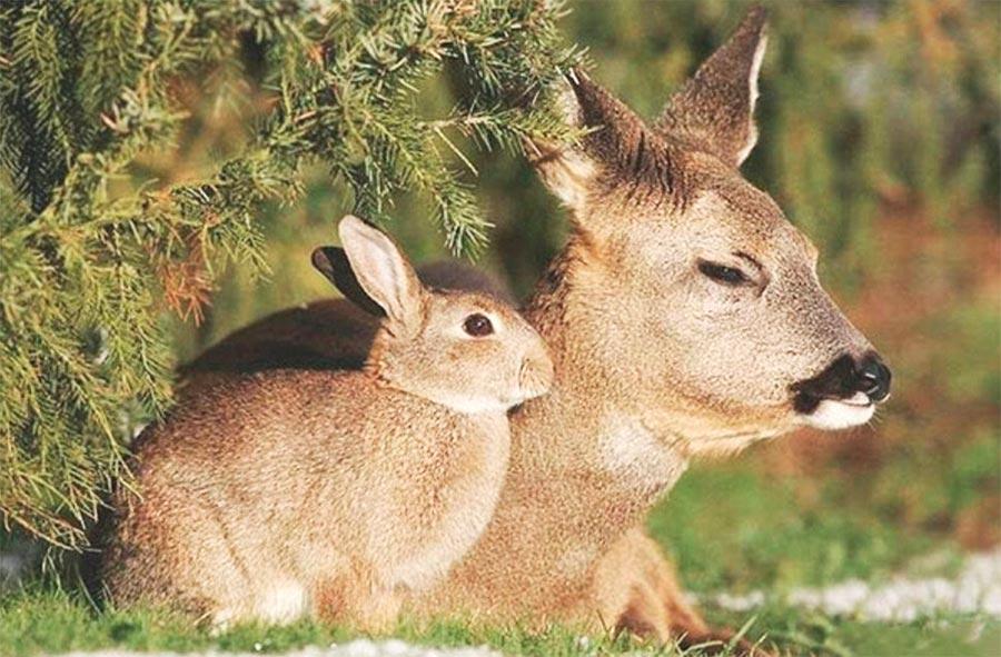 Двойники в мире животных олень кролик