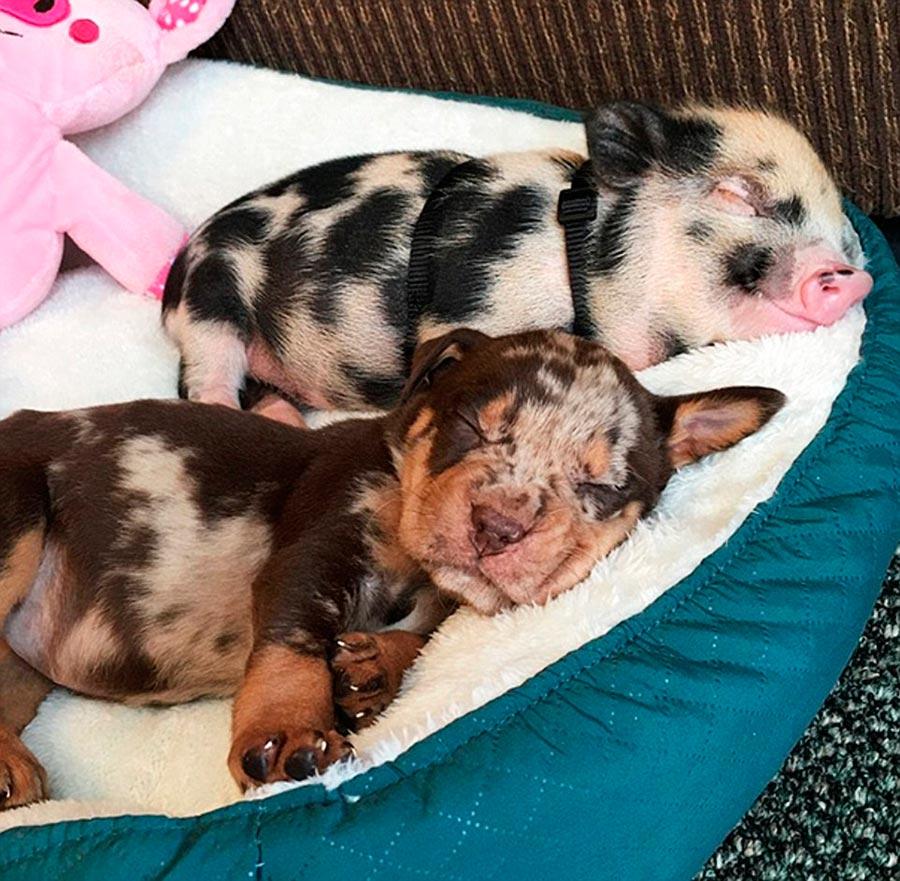 Двойники в мире животных щенок поросенок