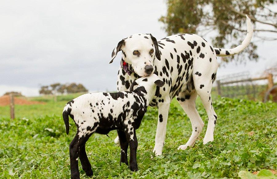 Двойники в мире животных собака козленок