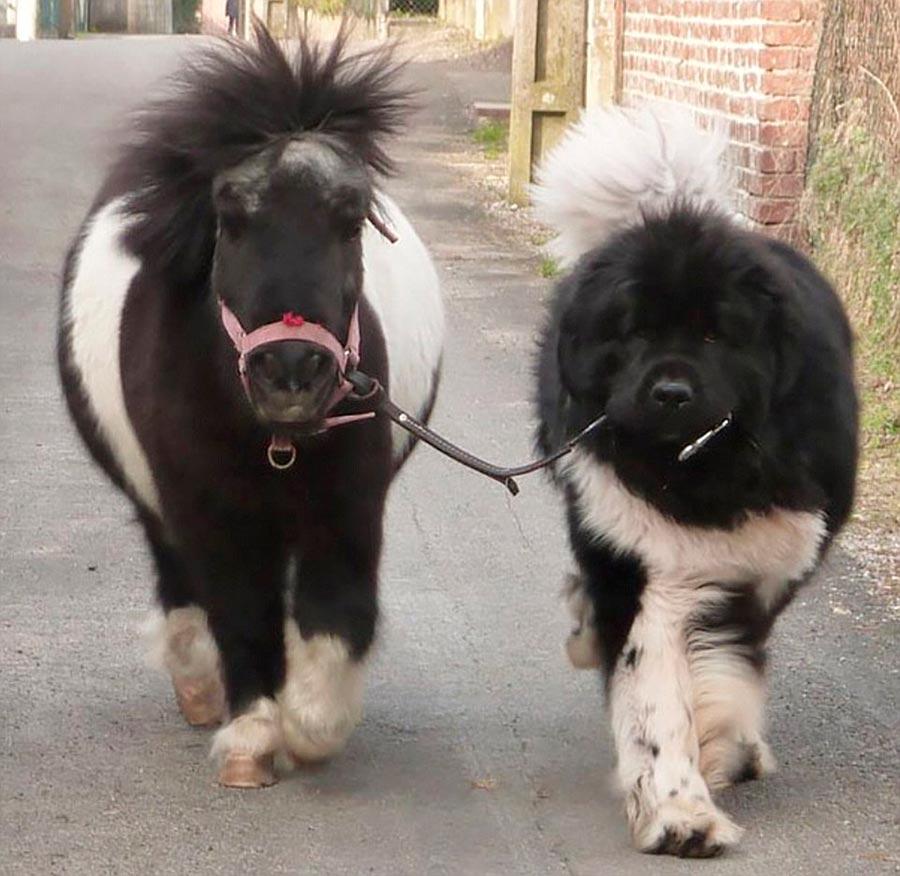 Двойники в мире животных собака пони