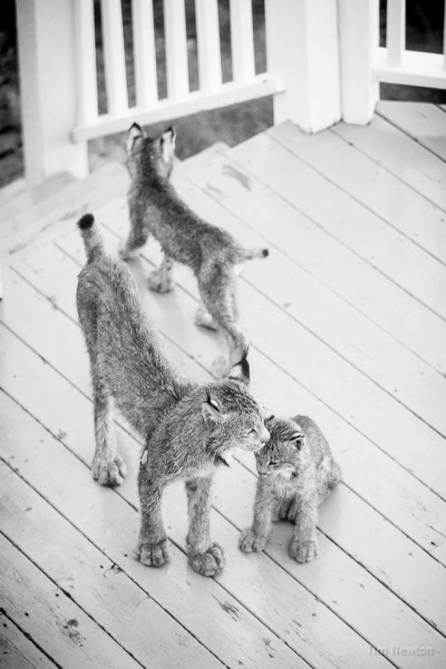 К жителю Аляски пришел в гости целый выводок рысей