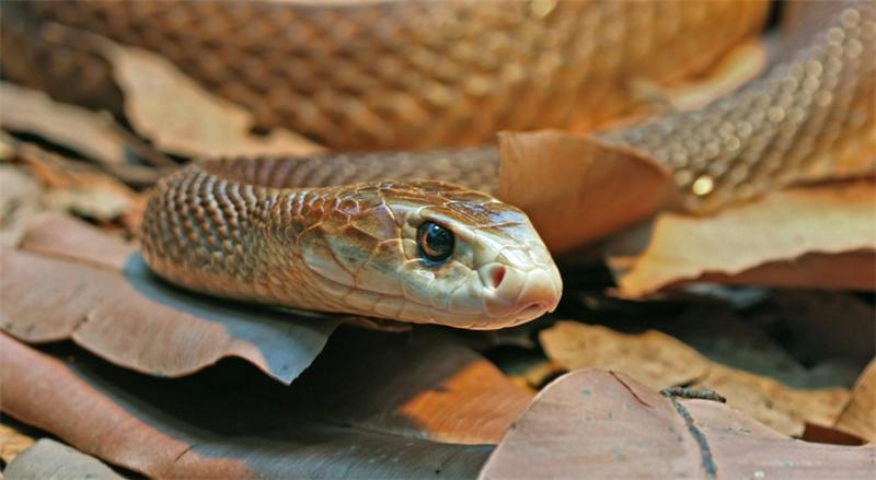 poisonous animals ядовитые животные Тайпан taipan
