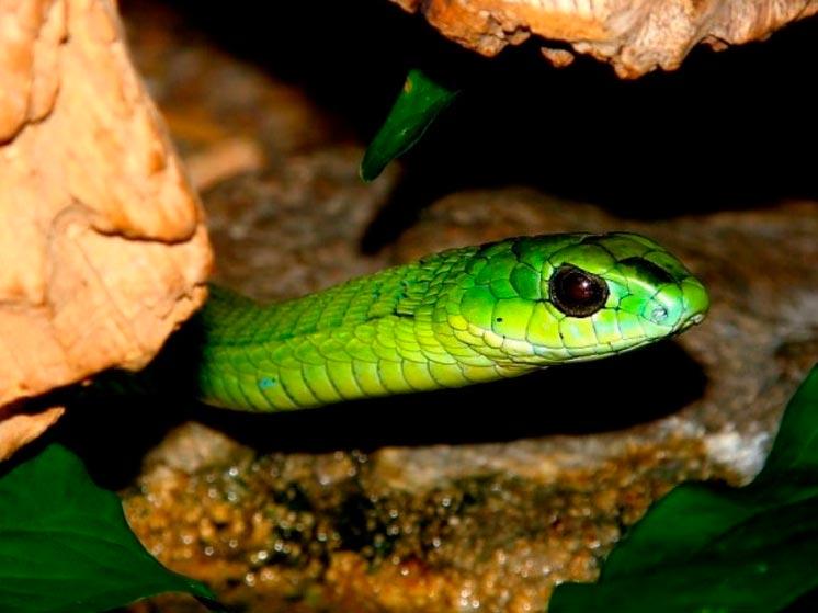 poisonous animals ядовитые животные Бумсланг boomslang