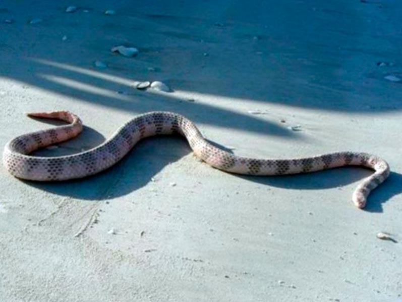 poisonous animals ядовитые животные Морская змея Дюбуа sea snake dubois
