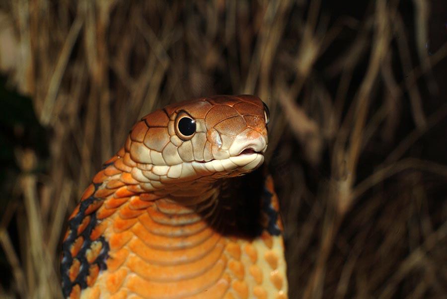 poisonous animals ядовитые животные Королевская кобра king cobra