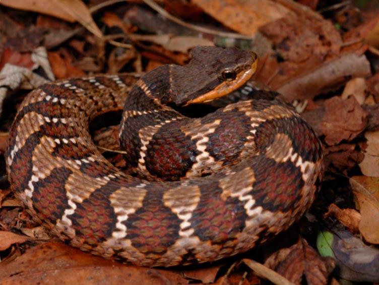 poisonous animals ядовитые животные Цепочная гадюка chain viper