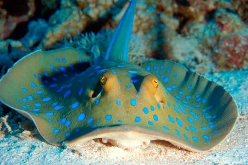 poisonous animals ядовитые животные Пятнистый рифовый скат spotted reef slope