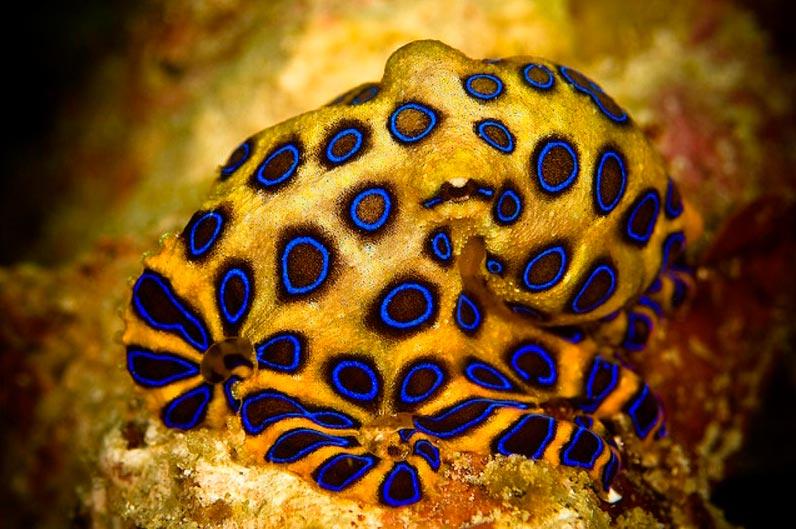 poisonous animals ядовитые животные Синекольчатый осьминог sincerity octopus