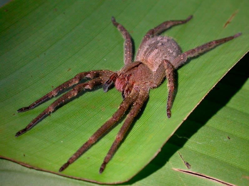 poisonous animals ядовитые животные Бразильский странствующий паук brazilian wandering spider