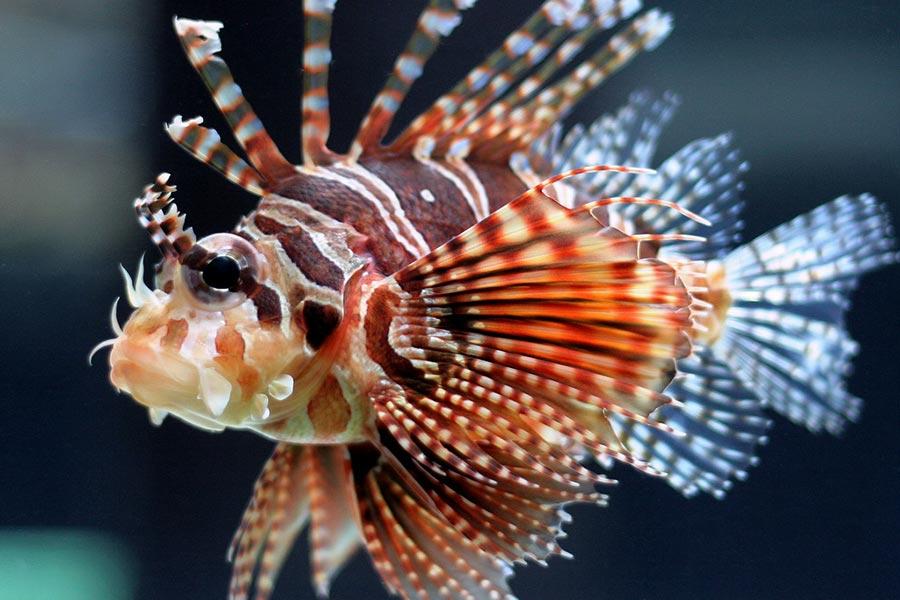 poisonous animals ядовитые животные Крылатка lionfish