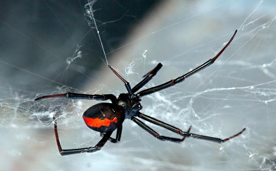poisonous animals ядовитые животные Черная вдова black widow