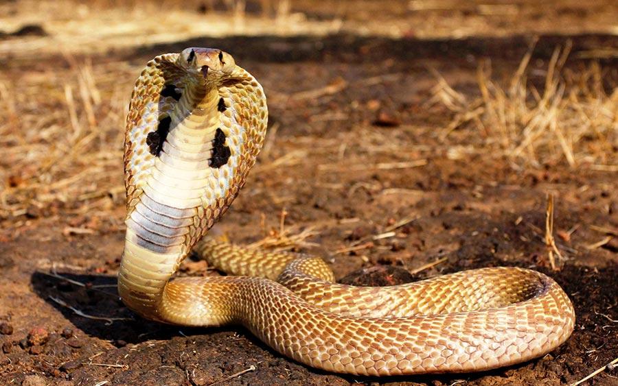 poisonous animals ядовитые животные Очковая змея cobra