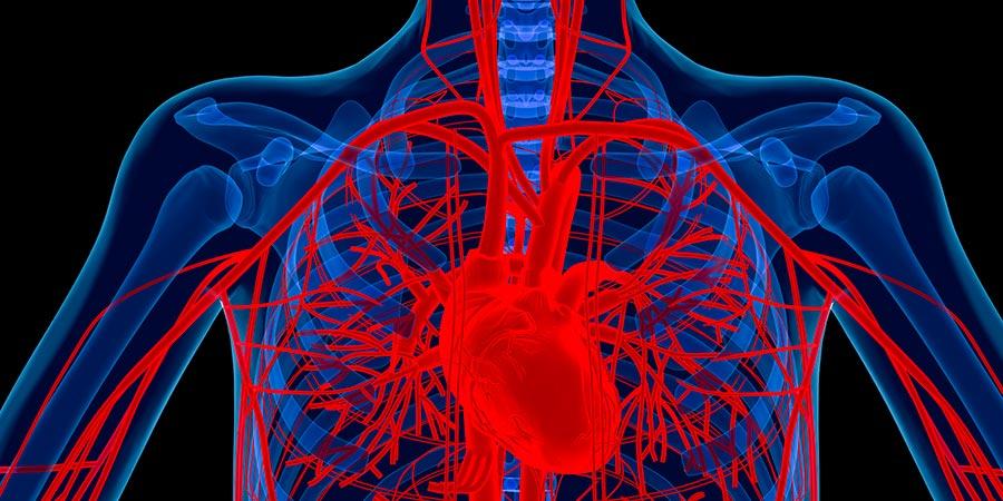 кровеносные сосуды blood vessels