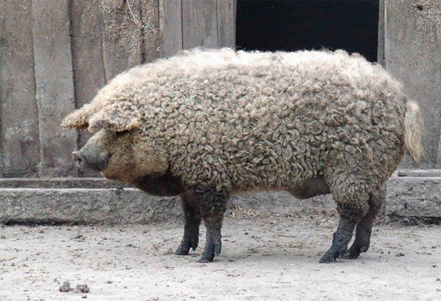 Свиньи Мангалица
