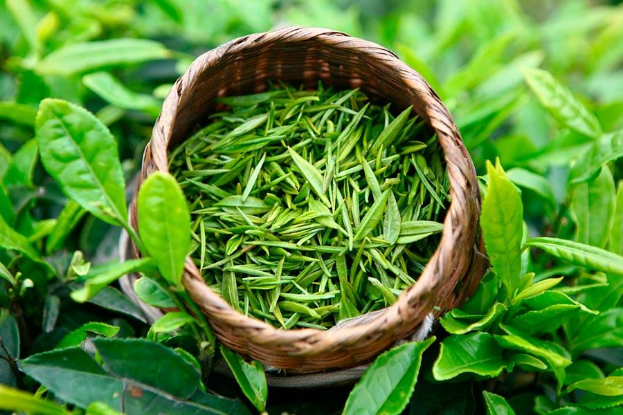 Натуральные жиросжигатели natural fat burners Экстракт зеленого чая green tea extract