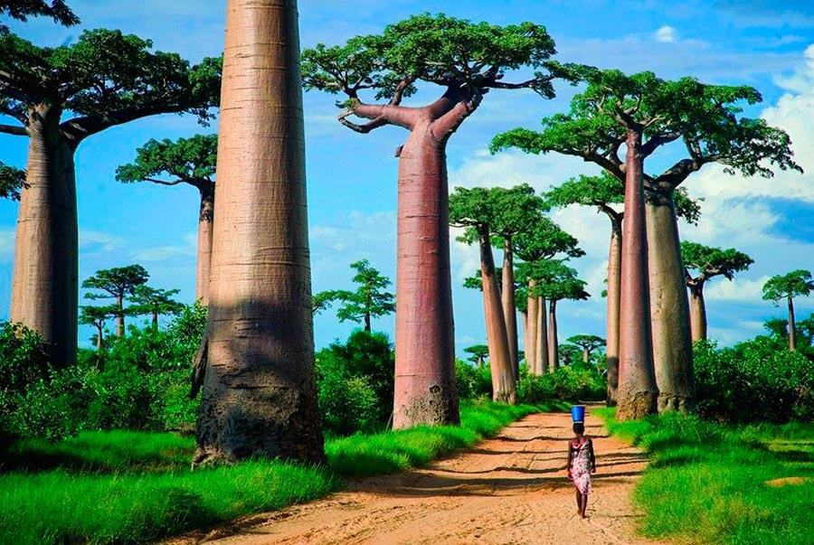 места на Земле Аллея баобабов Мадагаскар Madagascar