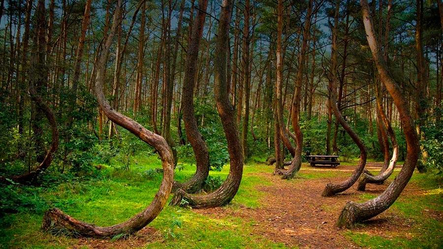 Чудеса природы wonders of nature Кривой лес