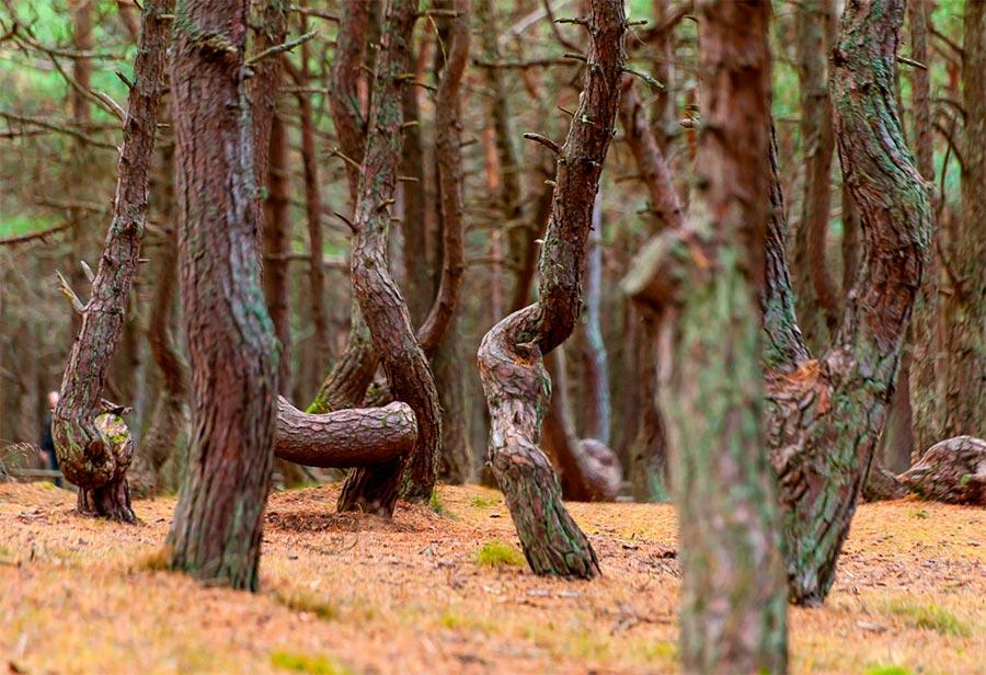 Чудеса природы wonders of nature Танцующий лес