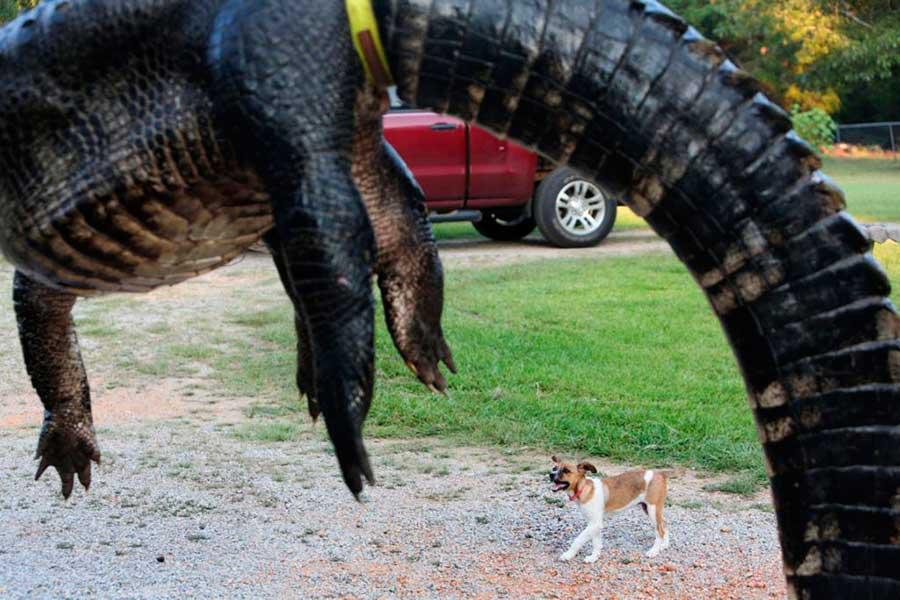 огромный аллигатор США huge alligator USA