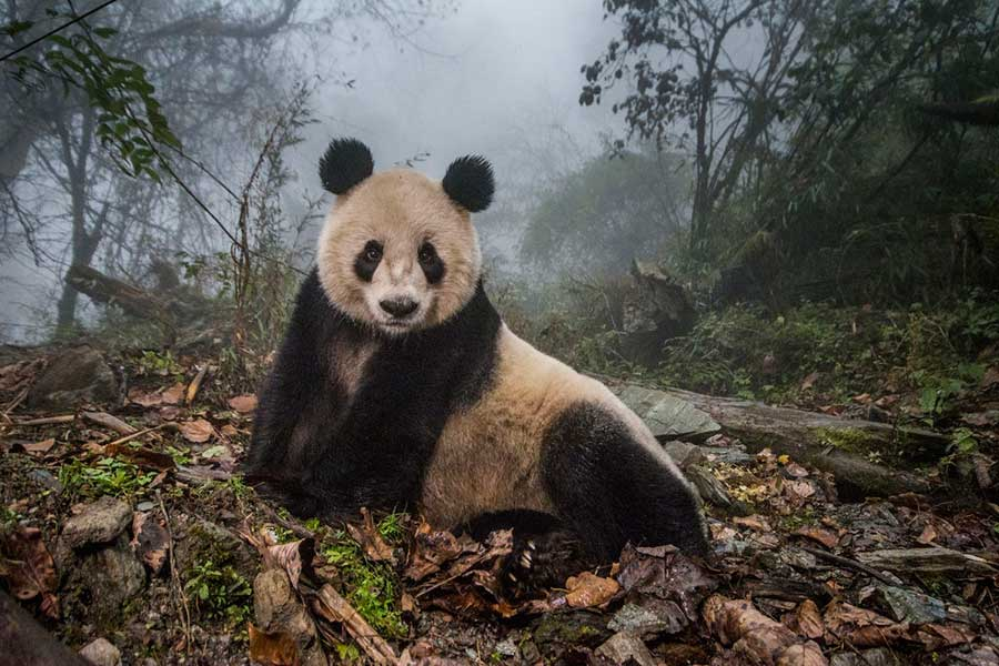 Фотоконкурс Siena International Photo Awards 2017 одичавшие панды Эми Витале Волонг Китай wild panda Amy Vitale Wolong Chine