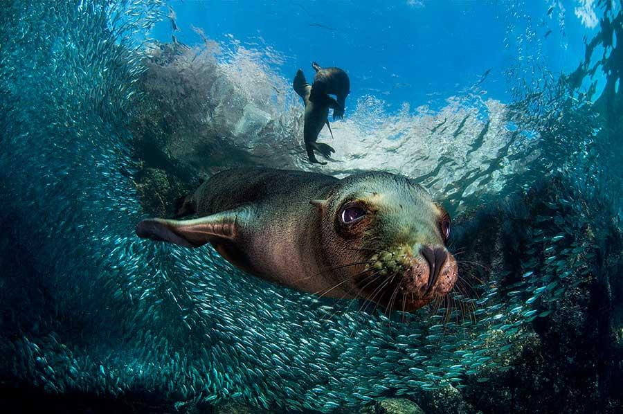 Фотоконкурс Siena International Photo Awards 2017 детёныш морского льва Филиппо Борги Мексика the baby sea lion Filippo Borghi Mexico