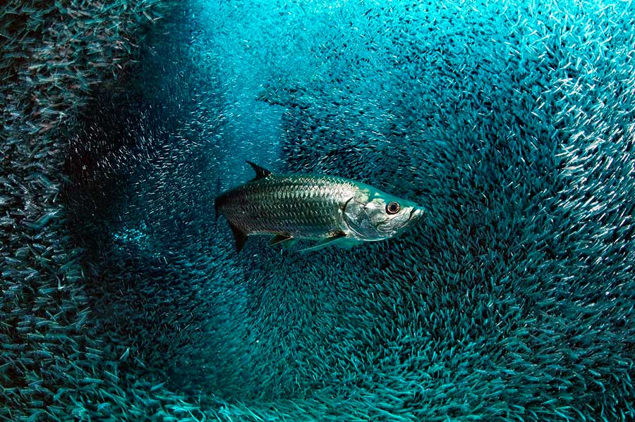 Фотоконкурс Siena International Photo Awards 2017 тарпон в облаке стеклянных рыб Давид Веззаро Большой Кайман tarpon in the cloud of glass fish David Vezzaro Grand Cayman