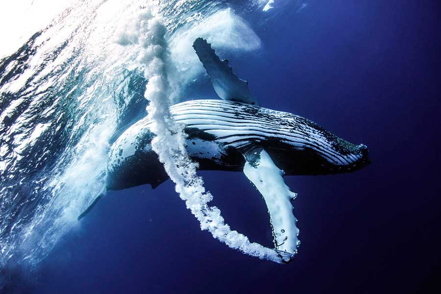 Фотоконкурс Siena International Photo Awards 2017 китовый след Бо Пилгрим Вавау Тонга whale trail Bo Pilgrim Vava'u Tonga