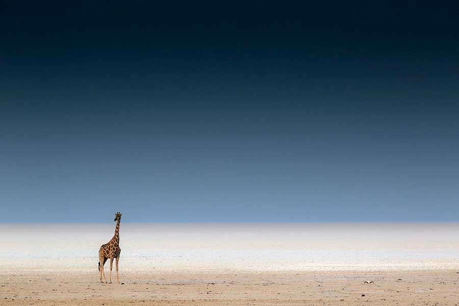 Фотоконкурс Siena International Photo Awards 2017 минимализм и жираф Марко Гайотти minimalism and giraffe Marco Gaiotti