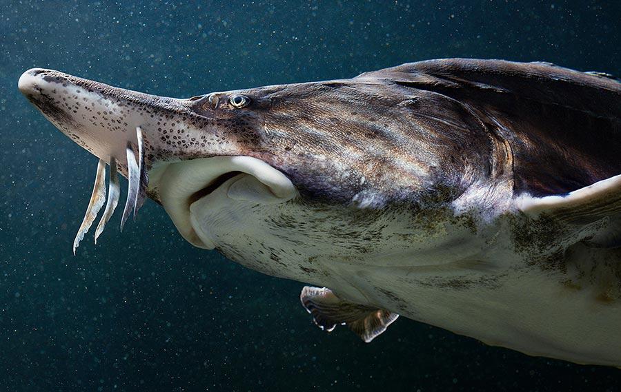 Тим Флач Tim Flach Животные на грани исчезновения белуга beluga
