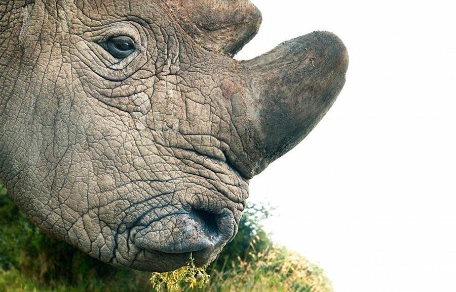 Тим Флач Tim Flach Животные на грани исчезновения Белый носорог white rhino