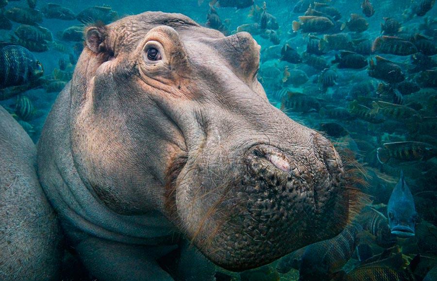 Тим Флач Tim Flach Животные на грани исчезновения бегемот hippo
