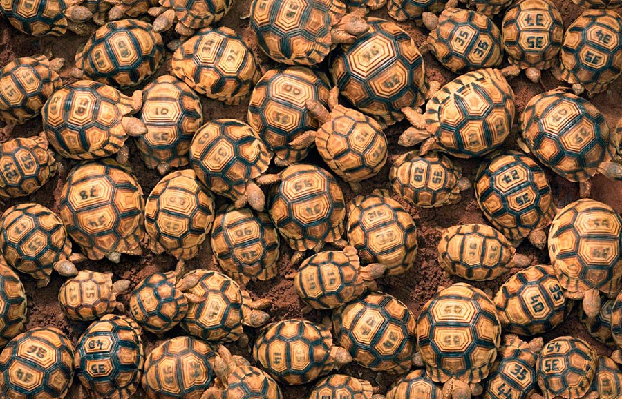Тим Флач Tim Flach Животные на грани исчезновения Мадагаскарская клювогрудая черепаха Madagascar keyworda turtle