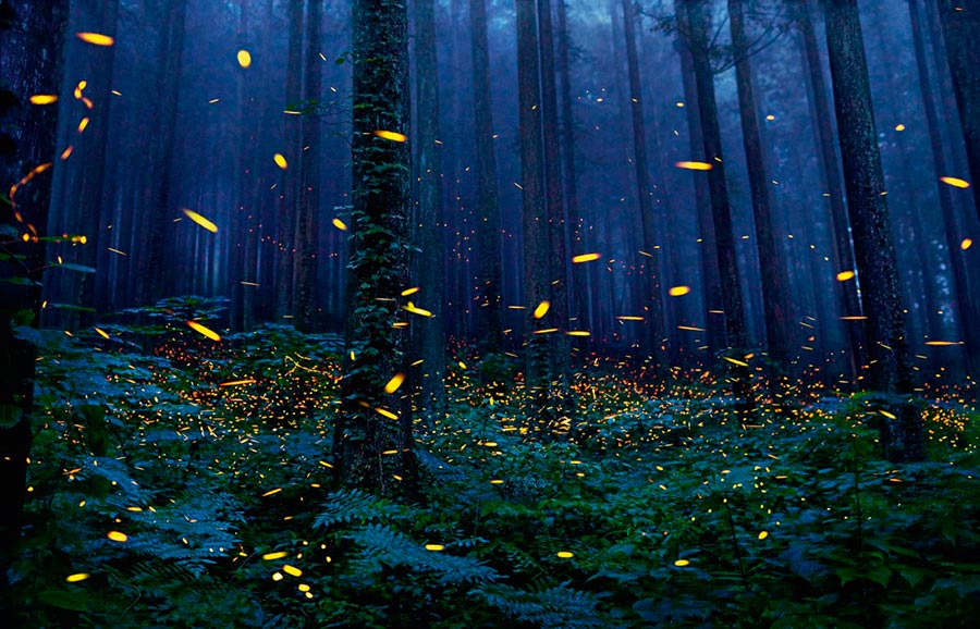 Тим Флач Tim Flach Животные на грани исчезновения Светлячки Fireflies