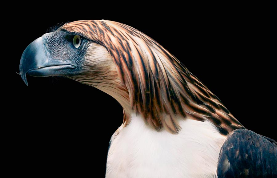 Тим Флач Tim Flach Животные на грани исчезновения Филиппинский орел Philippine eagle