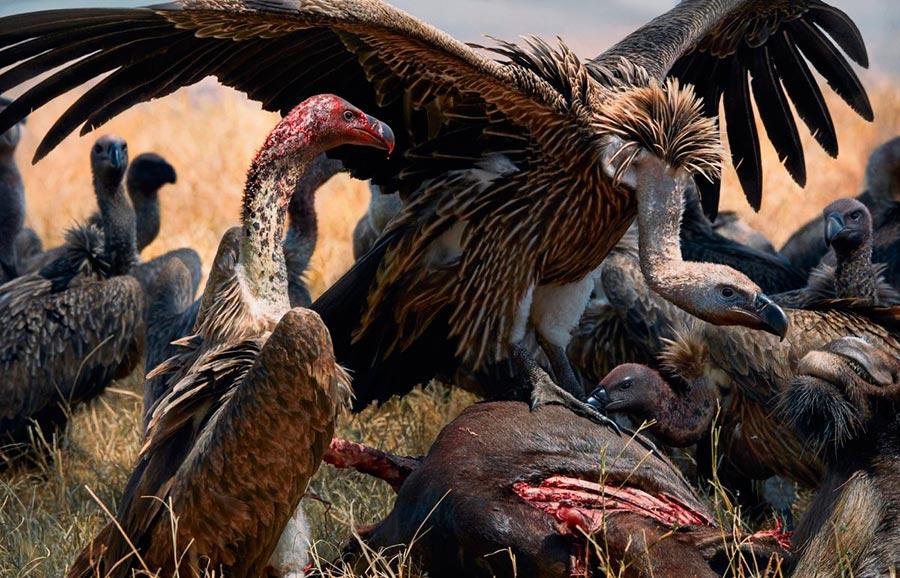 Тим Флач Tim Flach Животные на грани исчезновения Африканские грифы – санитары Africacn vultures - nurses