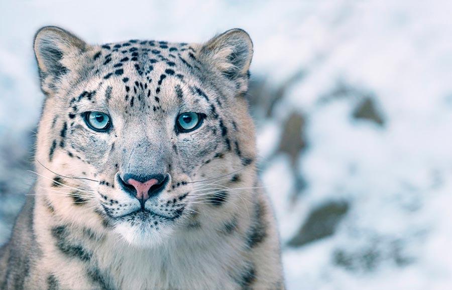 Тим Флач Tim Flach Животные на грани исчезновения Снежный барс snow leopard