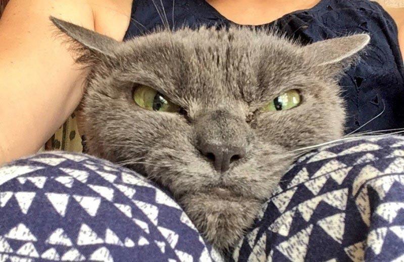 angry cat shamo 1 - Самая сердитая кошка в мире