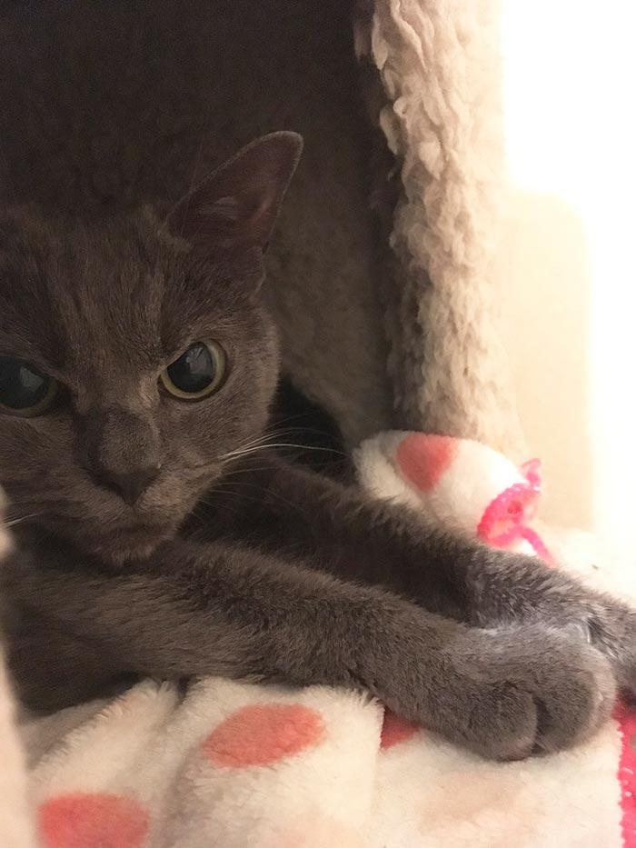 angry cat shamo 10 - Самая сердитая кошка в мире