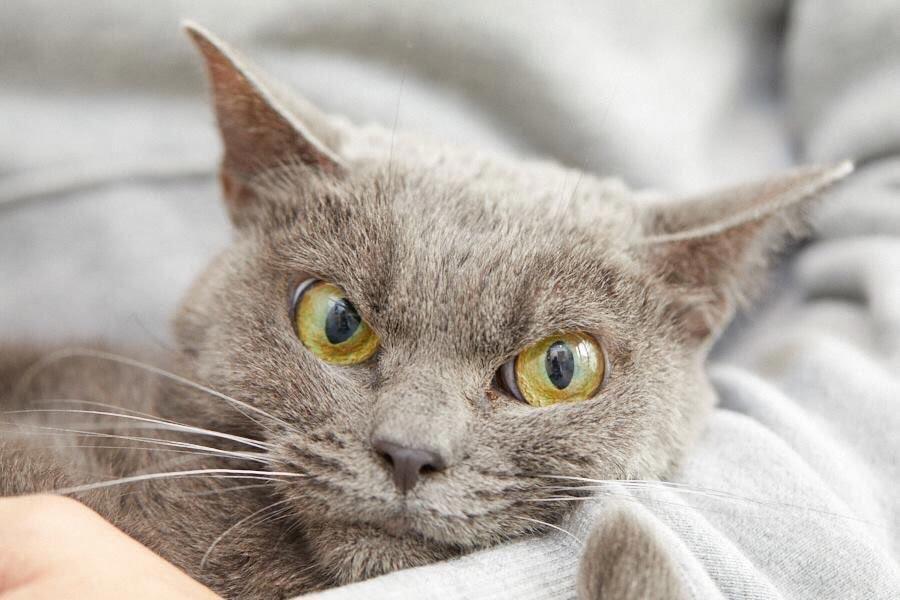 сердитая кошка в мире Шамо
