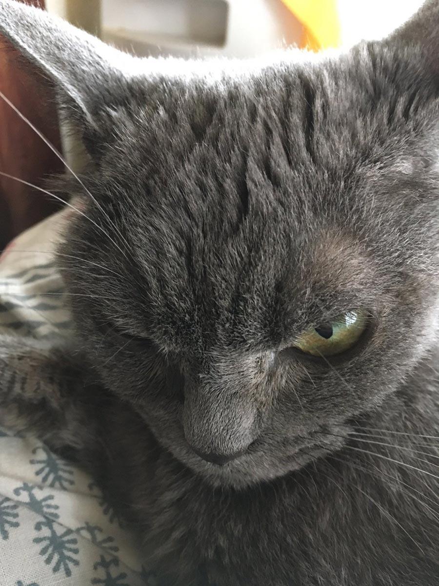 angry cat shamo 3 - Самая сердитая кошка в мире