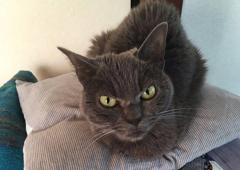 angry cat shamo 4 - Самая сердитая кошка в мире
