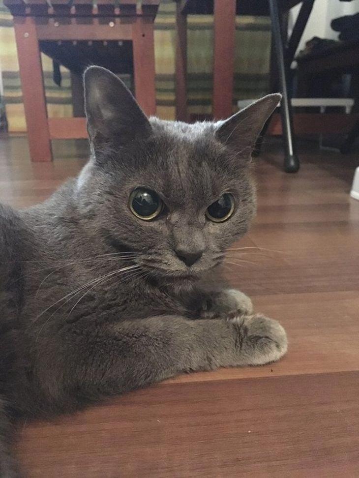 angry cat shamo 7 - Самая сердитая кошка в мире
