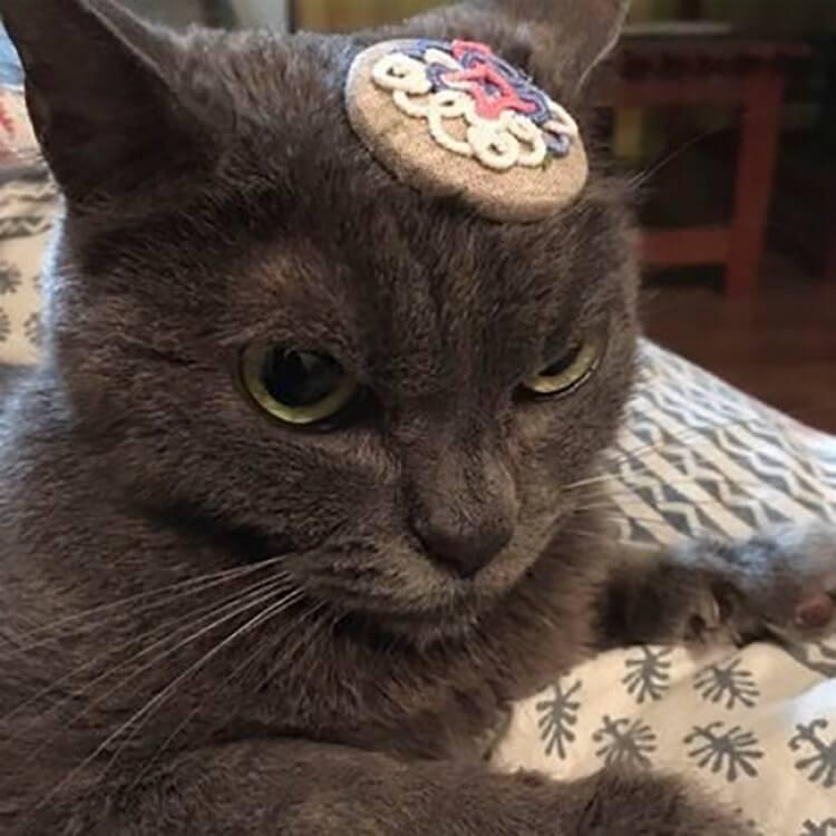 angry cat shamo 8 - Самая сердитая кошка в мире