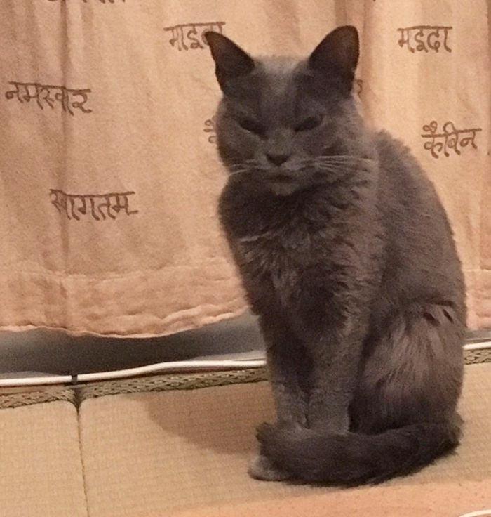 angry cat shamo 9 - Самая сердитая кошка в мире